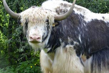 Naissance d'un mâle yack