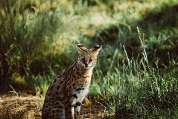 Naissance d'un mâle serval